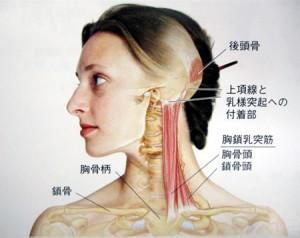 胸鎖乳突筋_1