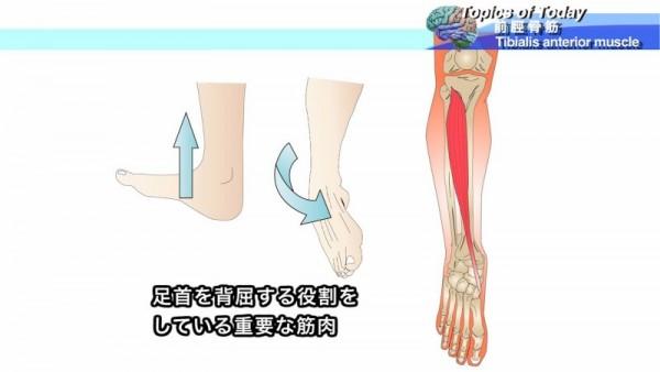 前脛骨筋 Tibialis anterior muscle-5
